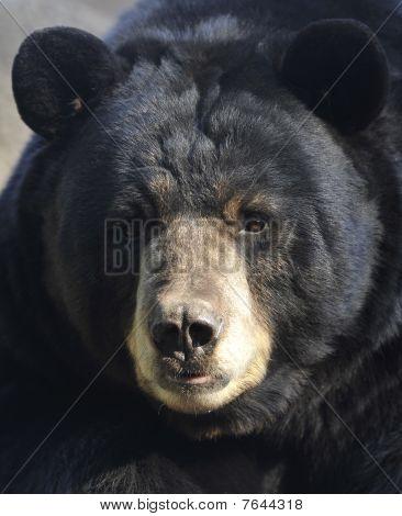 Male Adult American Black Bear Close Up, California