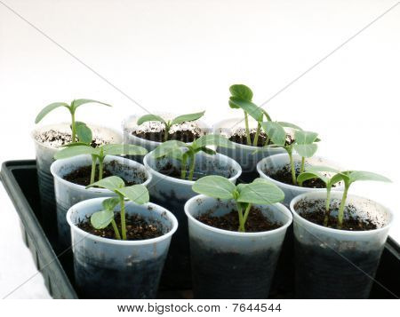 Seedlings in cups
