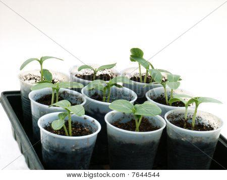 Seedlings in cups