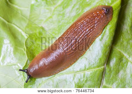 Close Up Of Slug On Green Leaves