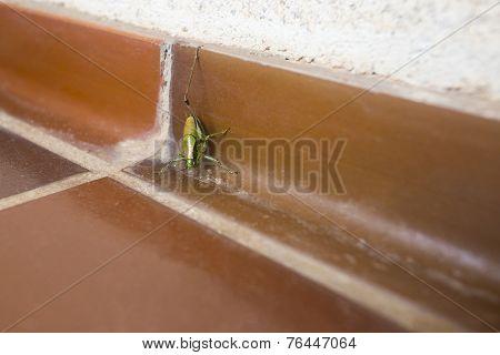 Grasshopper On Bathroom Floor