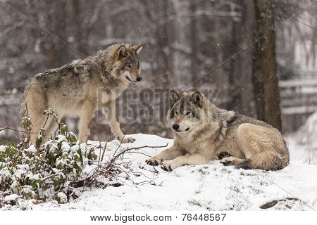 Lone timber wolf in a winter environment