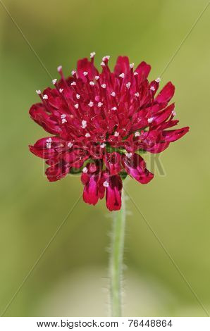 Macedonian Scabious