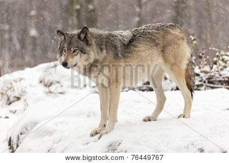 Timber wolf in a winter landscape