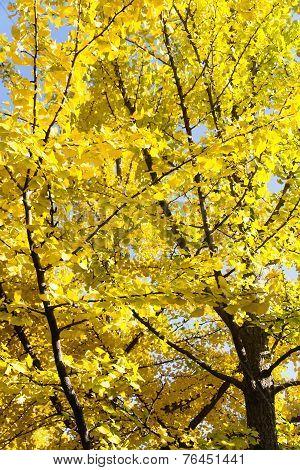 Autumn Ginkgo Leaves