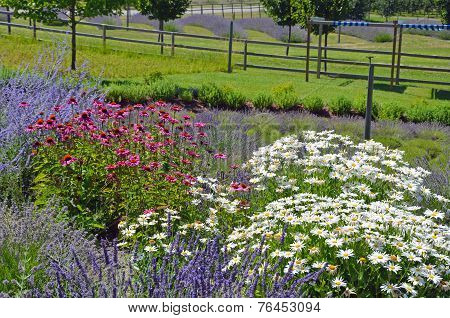 Field Of Lavender, Echinacea And Daisies