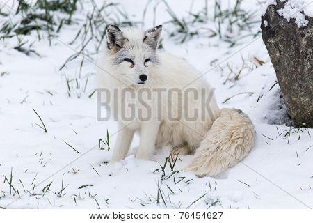 A lone Arctic Fox in a winter scene