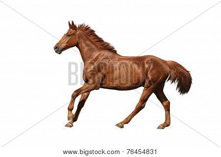 Chestnut Horse Galloping Fast On White Background