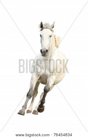 White Beautiful Horse Galloping Isolated On White