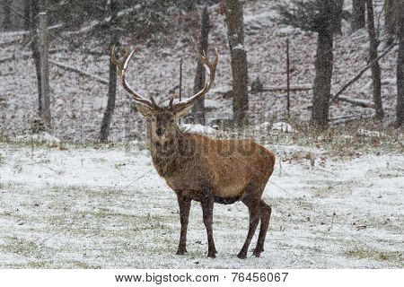 A lone wapiti in a winter scene