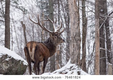Large elk in a winter scene