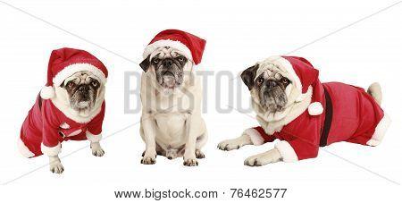 Three Pugs As Santa Claus