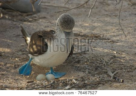 Blue-footed Booby with Its Eggs in Galapagos Islands