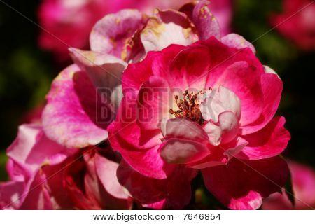 Briliant Pink Iceberg Floribunda Rose
