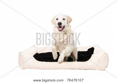 Golden retriever jumping out of den