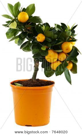 Orange Tree Against White Background