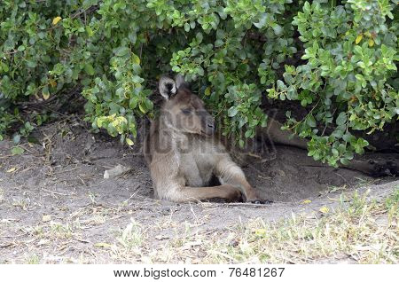 Kangaroo Under Bush