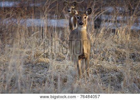 Deer Gazing Along Forest Border