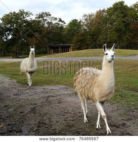 Two Llamas in a Safari Park