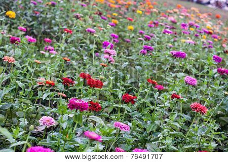 Colorful Field of Dahlias