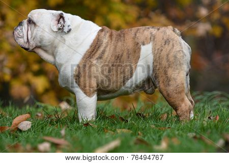 english bulldog, dog, canine, pet, purebred, outside, autumn, outdoors, grass, woods, trees, standing, animal, standing, brindle,