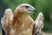 image of long-legged-birds  - An Young Long legged Buzzard in the forest - JPG