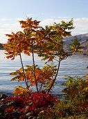 image of tree snake  - Small tree changing colors during the fall next to the Snake River - JPG