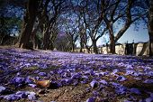 pic of tree lined street  - Suburban road with line of jacaranda trees and small flowers making a carpet - JPG