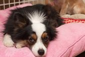 picture of forlorn  - Miniature Australian Shepherd rests on a pink pillow with a forlorn look on his face - JPG