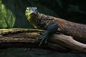 image of komodo dragon  - Portrait of a Komodo dragon  - JPG