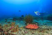 foto of grouper  - Coral Grouper on underwater reef - JPG