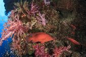 picture of grouper  - Grouper fish on coral reef - JPG