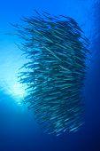 image of barracuda  - Barracuda Fish shoal - JPG