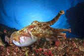 pic of cuttlefish  - Cuttlefish - JPG