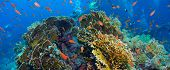 pic of fire coral  - Tropical Anthias fish with net fire corals on Red Sea reef underwater - JPG