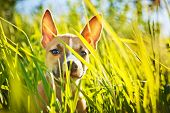 foto of american staffordshire terrier  - the puppy of the American Staffordshire terrier sits in a grass - JPG
