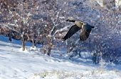 picture of snow goose  - Canada Goose Flying Over a Winter Lake - JPG