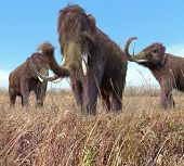 pic of mammoth  - An illustration of a group of Woolly Mammoths feeding on wild grass in an ice age grassland during an autumn feast - JPG