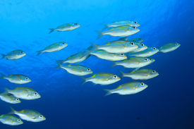 picture of school fish  - Fish school underwater - JPG