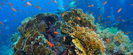stock photo of fire coral  - Tropical Anthias fish with net fire corals on Red Sea reef underwater - JPG