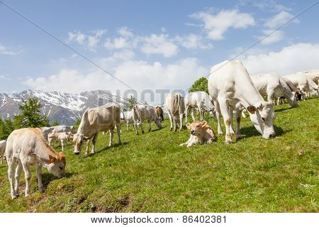Free Calf On Italian Alps