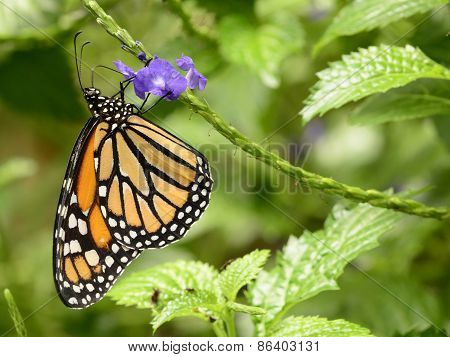 Monarch butterfly on purple flowers