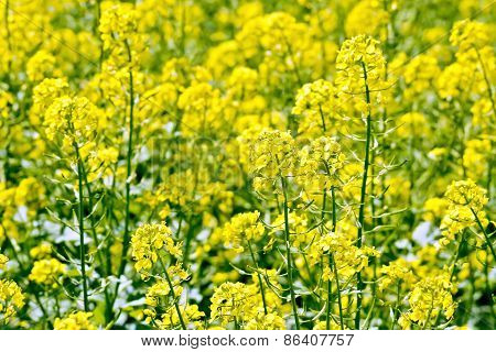 Rapeseed field yellow