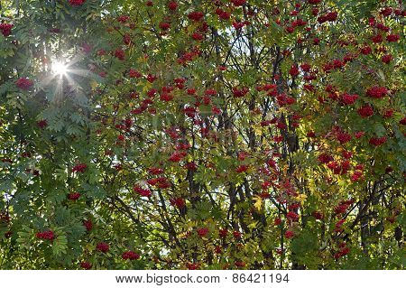 Close up on rowan berries and sunlit.