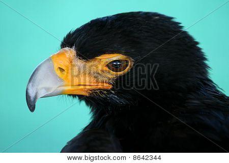 Black Eagle Portrait