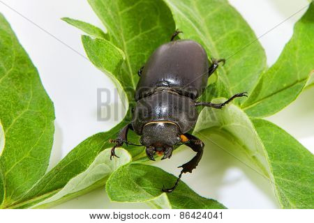 Stag Beetle Female Sitting On Oak Leaf
