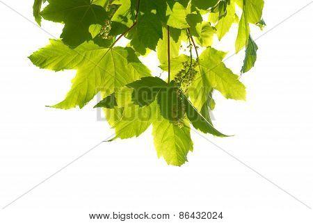 Green Chestnut Leaves