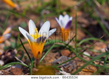 Crocus Flowers In The Sunshine. Spring On The Island Of Mykonos, Greece.
