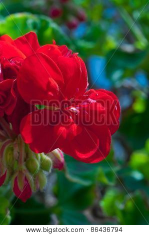 beautiful flower geranium in the sunlight