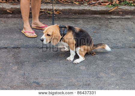 Adorable Beagle Dog Pooing